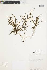 Cochlidium rostratum image