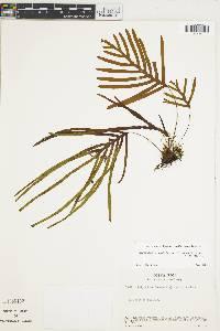 Zygophlebia sectifrons image