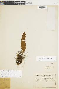 Grammitis trifurcata image