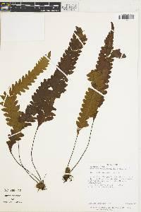 Image of Grammitis trifurcata