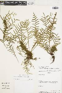Lellingeria subsessilis image