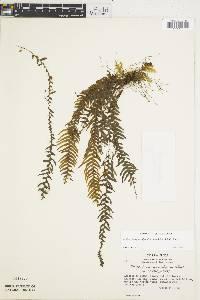 Image of Lellingeria suprasculpta