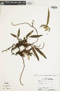 Microgramma lycopodioides image