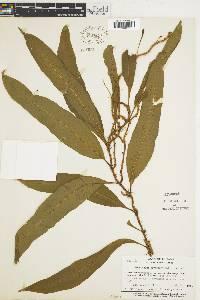 Microgramma persicariifolia image
