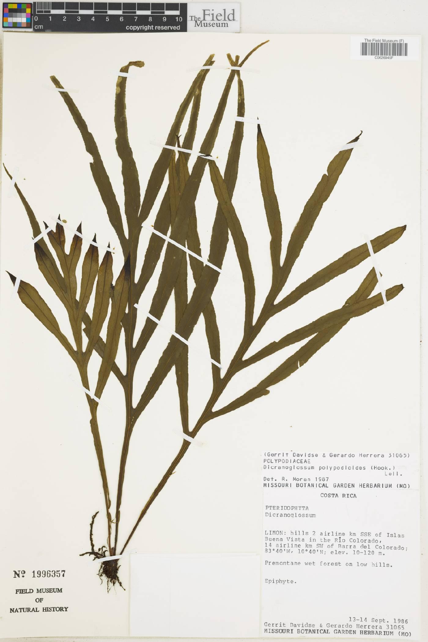 Dicranoglossum polypodioides image