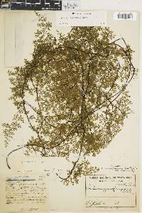 Eriosorus glaberrimus image