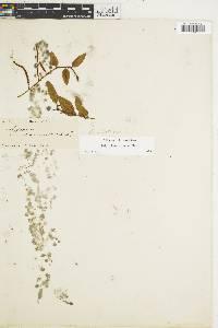 Microgramma reptans image