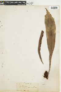 Polypodium crassifolium image