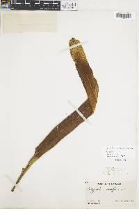 Niphidium oblanceolatum image