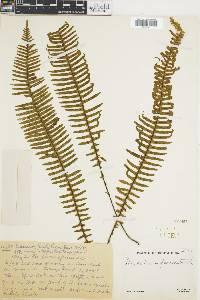 Polypodium pectinatum image