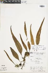 Pleopeltis complanata image