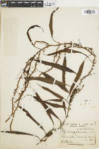 Polypodium percussum image