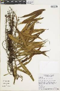Microgramma percussa image