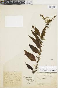 Pleopeltis wiesbaurii image