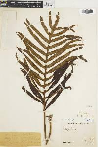 Polypodium aureum image