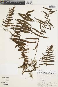 Polypodium chirripoense image