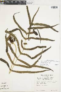 Polypodium flagellare image