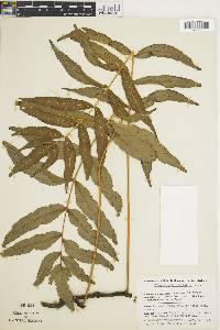 Polypodium fraxinifolium image