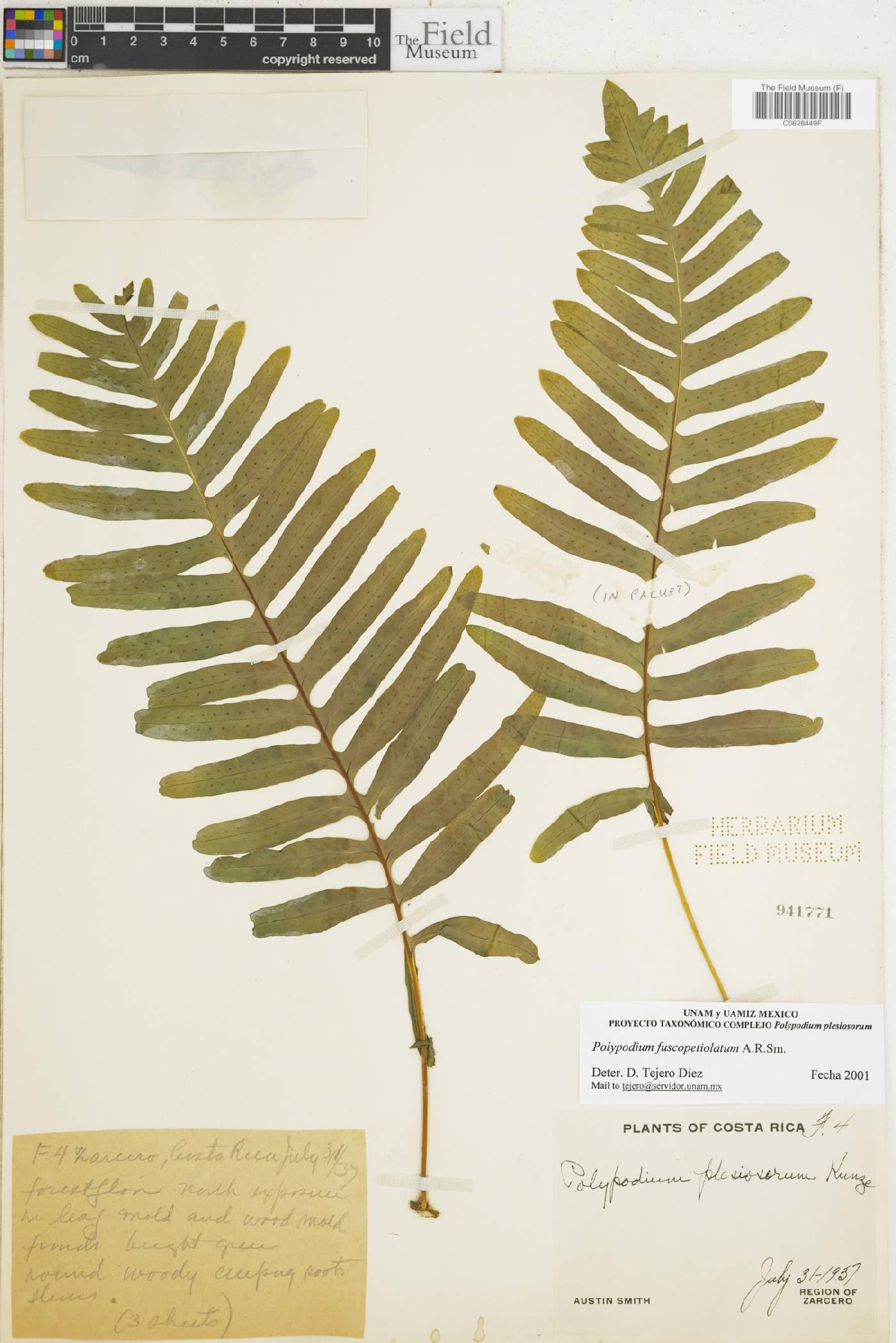 Polypodium fuscopetiolatum image