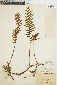 Polypodium macrolepis image