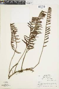 Polypodium myriolepis image