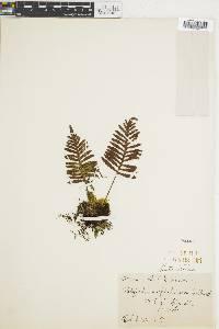 Polypodium plebeium image