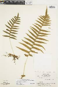 Image of Polypodium plesiosorum