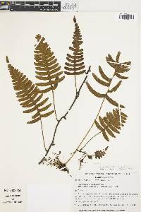 Image of Polypodium ptilorhizon