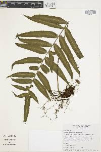 Polypodium sororium image