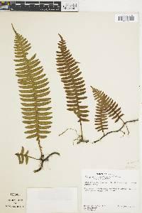 Polypodium loriciforme image