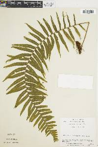 Polypodium ursipes image