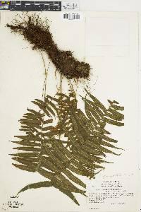 Polypodium ursipes image