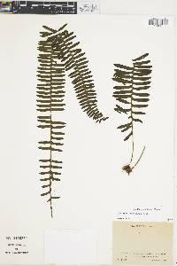 Polypodium wagneri image