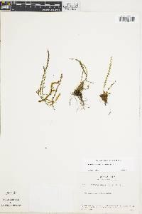 Stenogrammitis limula image