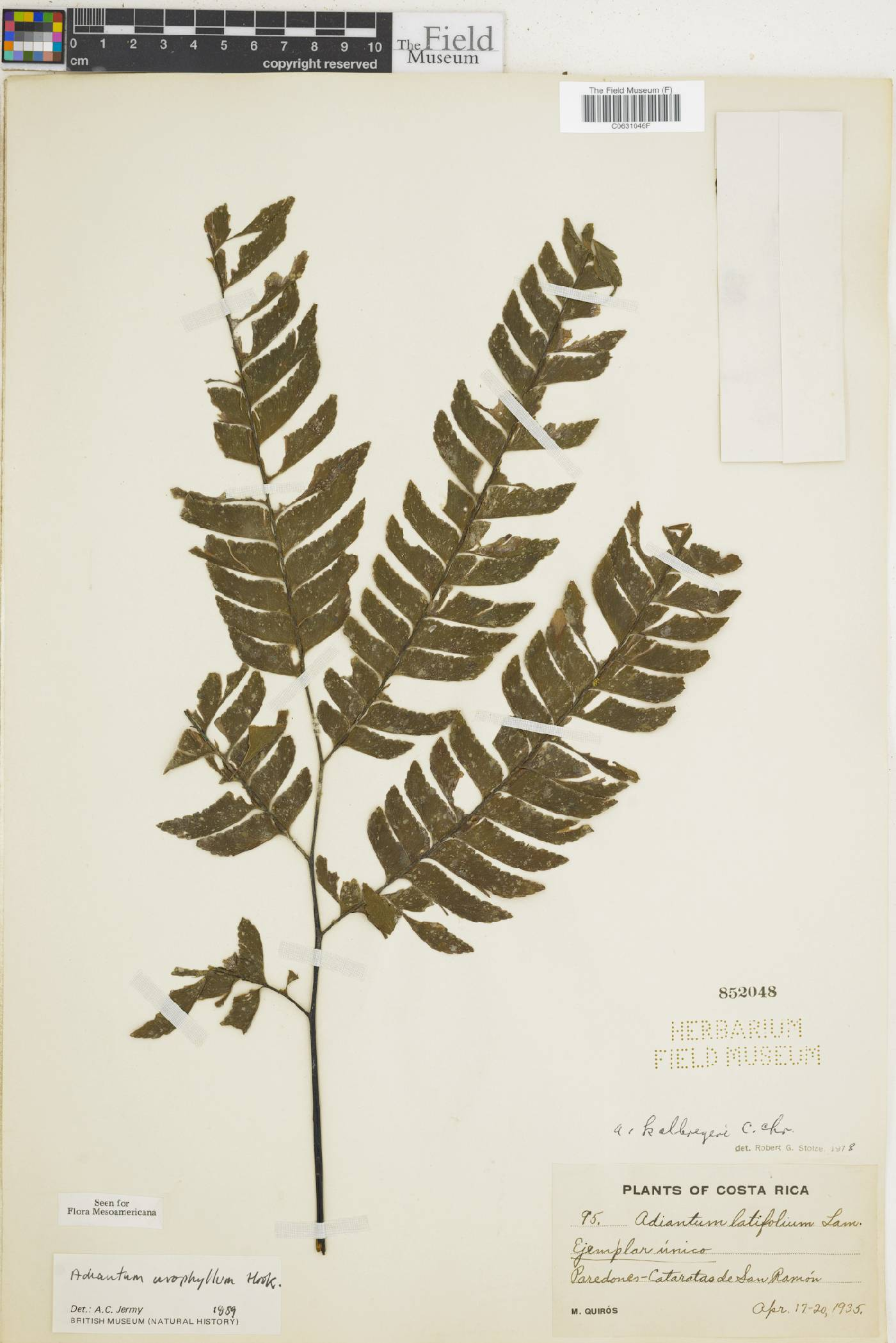 Adiantum urophyllum image