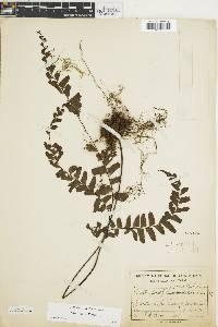 Adiantum villosum image