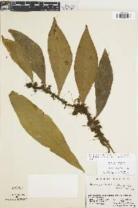 Anetium citrifolium image