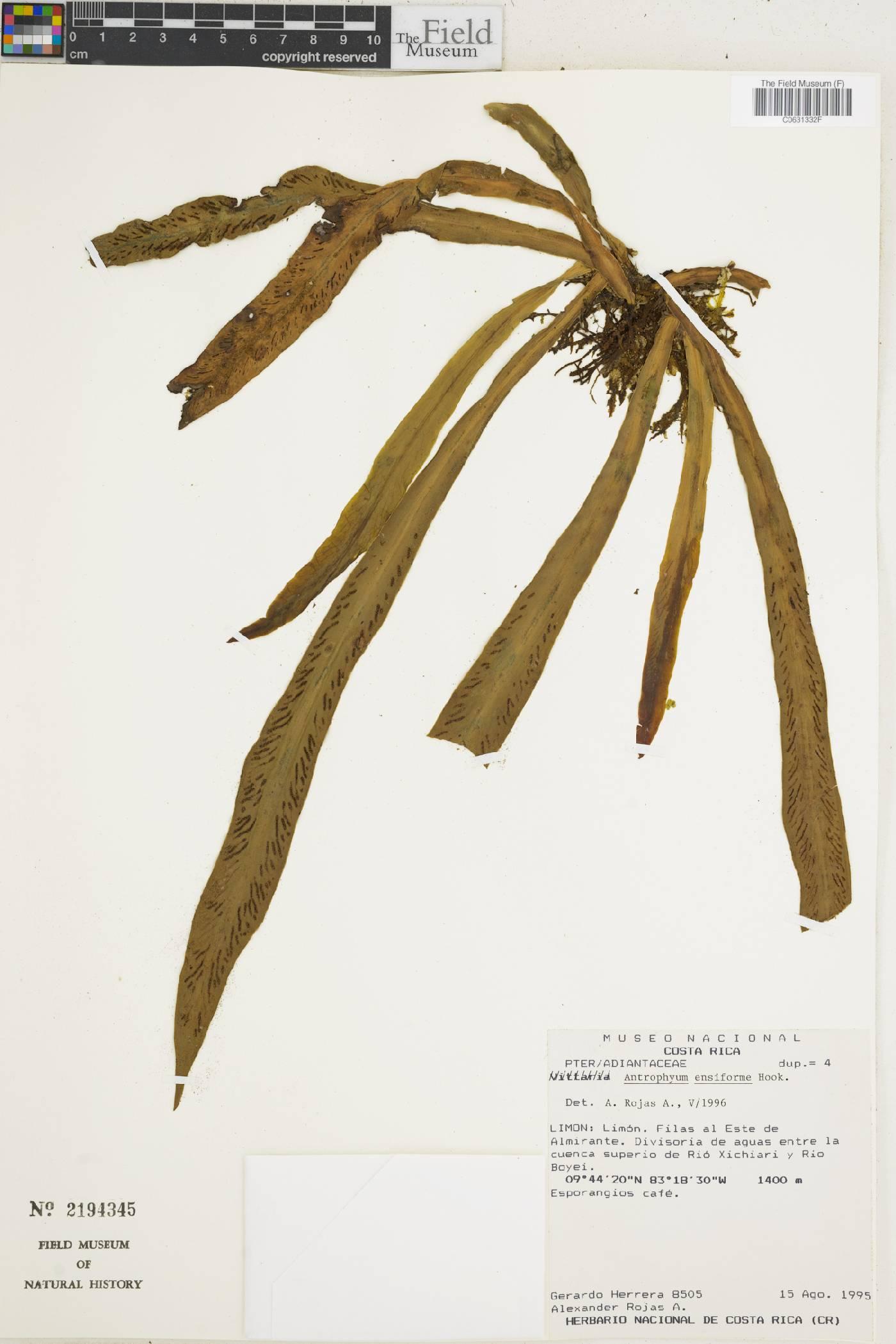 Antrophyum ensiforme image