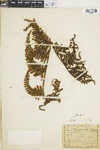Pityrogramma tartarea image