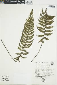 Image of Thelypteris linkiana