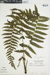 Thelypteris linkiana image
