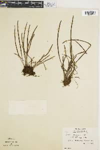 Vittaria graminifolia image