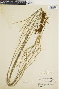 Vittaria lineata image