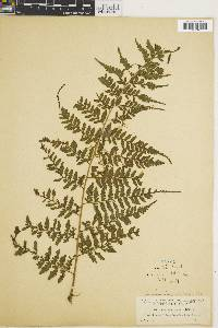 Saccoloma inaequale image