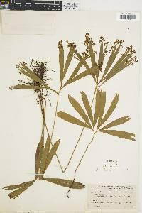 Schizaea elegans image