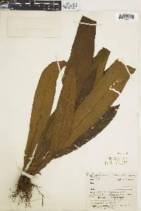 Dictyoxiphium panamense image