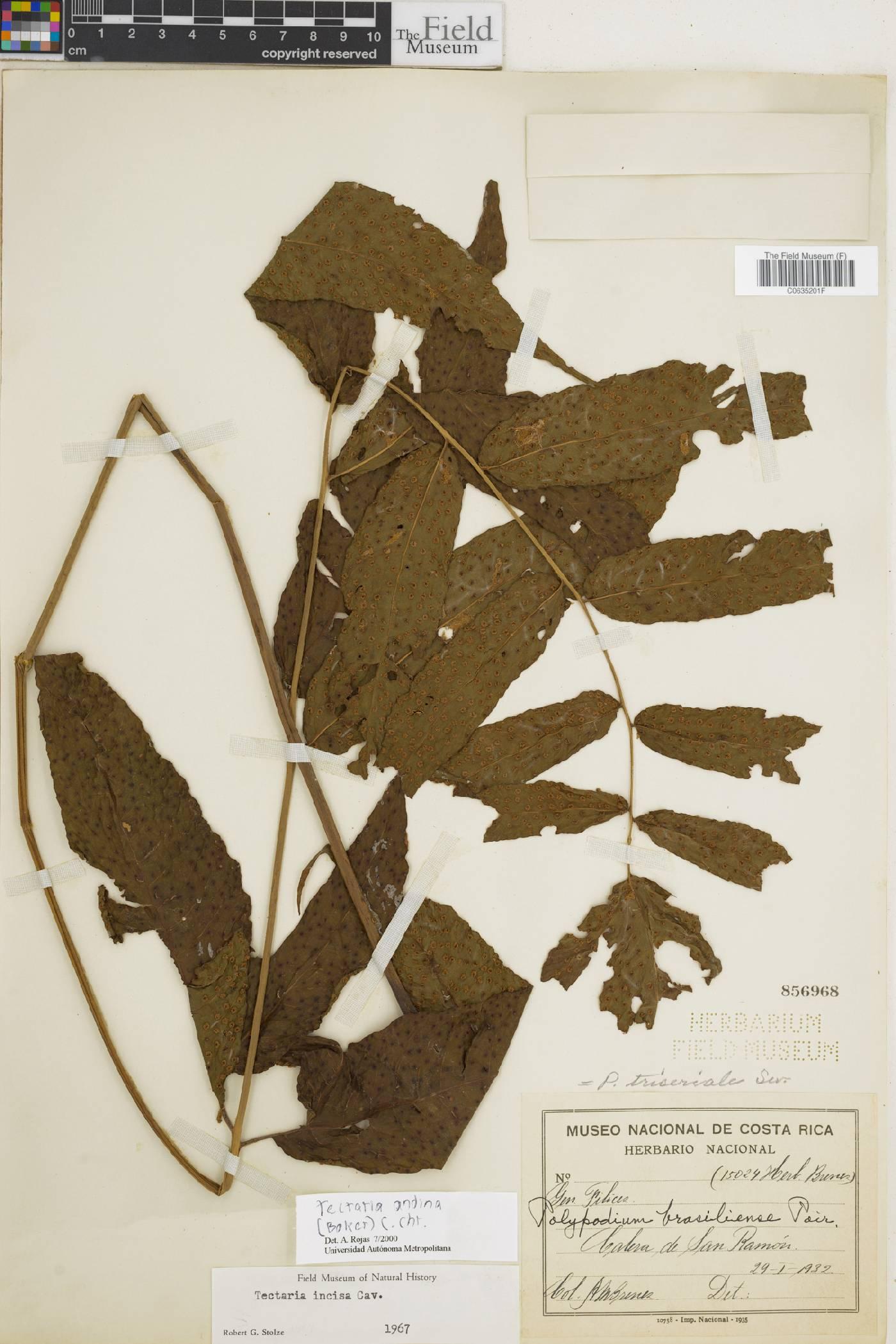 Tectaria andina image