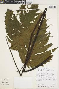 Image of Tectaria athyrioides
