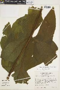 Tectaria draconoptera image