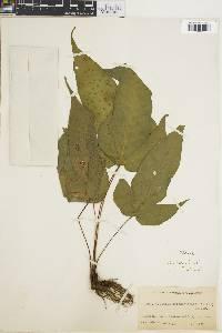 Image of Tectaria heracleifolia